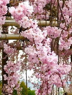 自然,風景,花,春,桜,清水寺,屋外,ピンク,お花見,枝垂れ桜