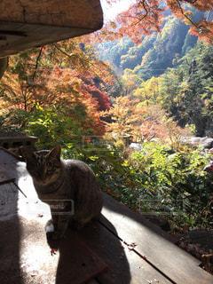 猫,秋,動物,紅葉,屋外,季節,ハイキング,渓谷,昇仙峡,金渓館