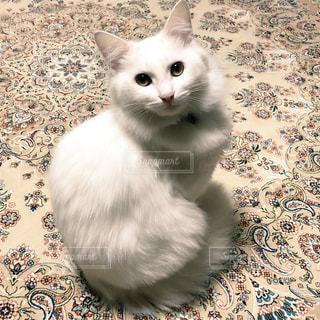 猫,動物,白,毛,ホワイト,ゴージャス,もふもふ,エレガント