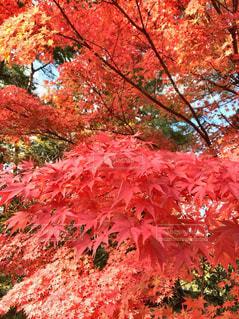 秋,紅葉,もみじ,岩手,平泉,平安時代,毛越寺