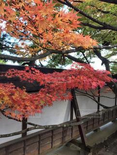 平安の秋の写真・画像素材[1600944]