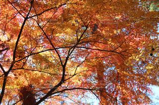 自然,風景,秋,紅葉,11月,モミジ,森林公園