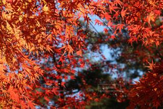 自然,風景,秋,紅葉,真っ赤,11月,モミジ,森林公園