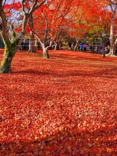 秋,紅葉,赤,古都,草木,東福寺,京都市
