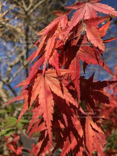 自然,風景,紅葉,赤面