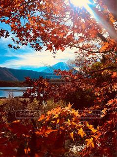 紅葉の間から眺める富士山の写真・画像素材[1645548]