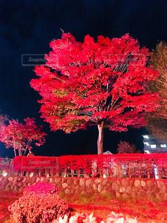 山梨県 山中湖紅葉ライトアップ 夕焼けの渚の写真・画像素材[1685814]