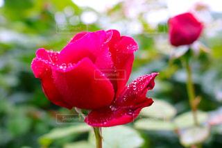 花のクローズアップの写真・画像素材[2181570]