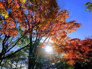 秋,冬,紅葉,屋外,太陽,赤,景色,樹木