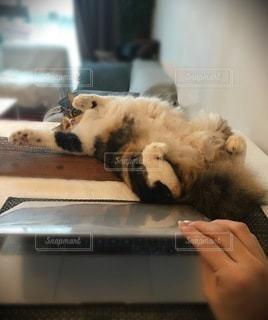 ラップトップの後ろでゴロゴロする猫の写真・画像素材[3393220]