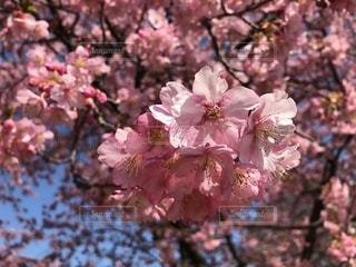 色鮮やかな河津桜の写真・画像素材[2004453]