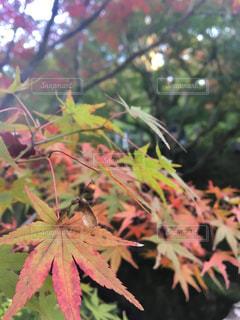 自然,秋,紅葉,京都,11月,東福寺
