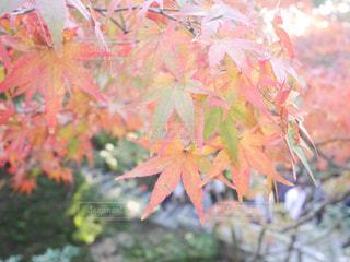 自然,秋,紅葉,京都,景色,11月,東福寺,紅葉狩り