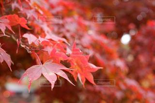 風景,夜景,紅葉,葉,景色,旅,モミジ