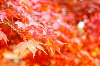 風景,秋,夜景,紅葉,葉,景色,旅,モミジ