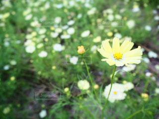 花,春,秋,コスモス,秋桜
