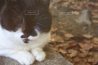 猫,秋,冬,動物,白,かわいい,ペット,子猫,人物,ネコ