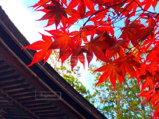 秋,紅葉,赤,樹木,草木,高野山,カエデ,モミジ