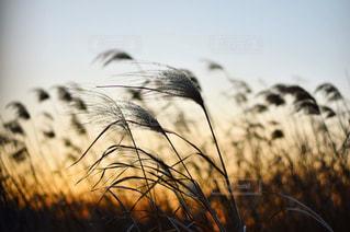 秋の夕暮れの写真・画像素材[1608182]