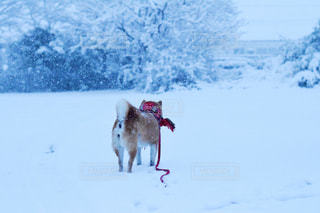 犬,冬,雪,柴犬