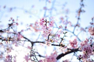 公園,春,桜,散歩,花見