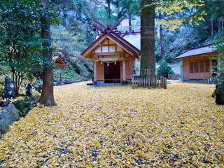自然,風景,秋,紅葉,森,神社,黄色,パワースポット,イチョウ,銀杏,杜,宮崎,高千穂,絨毯,落葉,パワスポ