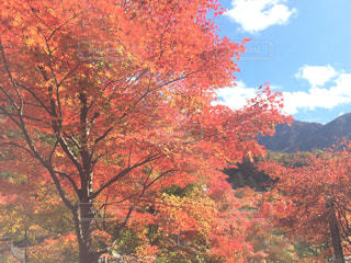 自然,空,紅葉,森林,山,景色,樹木,旅行,カエデ