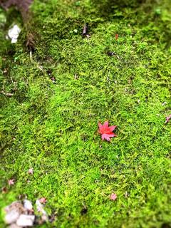 緑の葉と赤い紅葉の写真・画像素材[1615000]