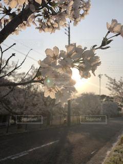桜,ピンク,綺麗,夕焼け