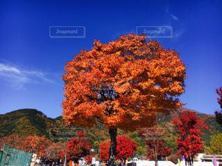 大きな木の写真・画像素材[1611842]