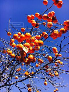 枝からぶら下がっているオレンジのグループの写真・画像素材[1611927]