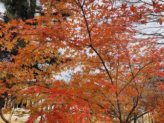 大きな木の写真・画像素材[1640045]