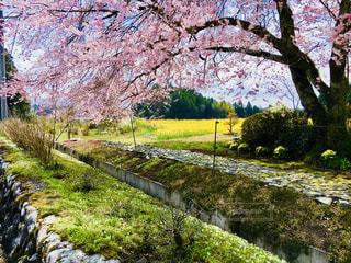 花,春,樹木,さくら