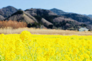 フィールド内の黄色の花の写真・画像素材[1845570]