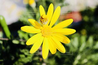 黄色の花の写真・画像素材[1845581]
