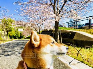 犬,公園,春,屋外,さくら