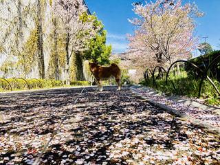 犬,春,樹木,さくら