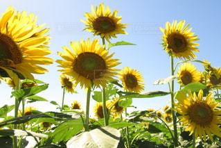 黄色の花の束の写真・画像素材[1618420]
