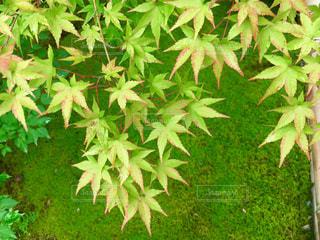 苔庭のモミジの写真・画像素材[1668769]