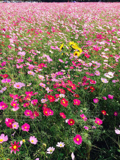 自然,秋,屋外,ピンク,ひまわり,かわいい,コスモス,景色,宮崎県,西都