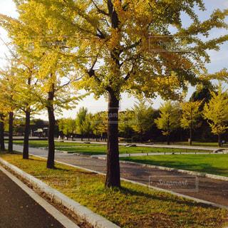 自然,銀杏,昭和記念公園,銀杏並木