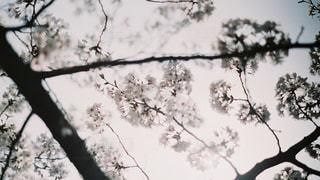 花,春,桜,白,季節,未来,夢,四季,ポジティブ,希望,可能性