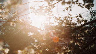 花,春,夕日,桜,白,季節,未来,夢,四季,ポジティブ,希望,目標,可能性