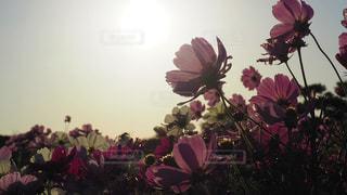 空,花,夕日,コスモス,季節,未来,秋桜,夢,四季,ポジティブ,希望,目標,可能性