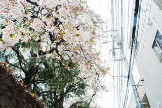 花,春,桜,木,雪,屋外,花見,お花見,イベント,松,住宅街,さくら