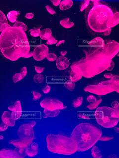 ライトアップされたクラゲの写真・画像素材[1793877]