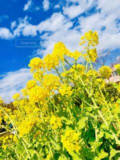 空,公園,花,青,黄色,菜の花,お花,鮮やか,樹木,flower,イエロー,黄,yellow,大船フラワーセンター