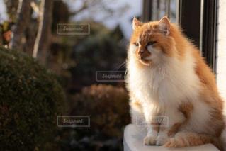 カメラを見ている猫の写真・画像素材[2292658]