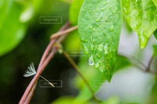 緑,葉,露,綿毛,ドロップ,草木,アンバサダー,バイワンシー,byonesii