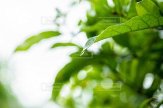 雨,葉,露,アンバサダー,バイワンシー,byonesii